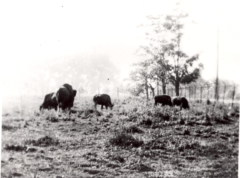 Five buffalos spread out to eat grass in a fenced off area.
